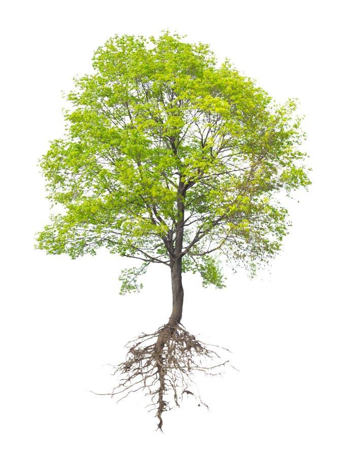 Árvore com uma raiz imagem de stock