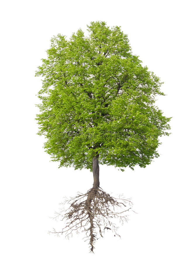 Árvore com uma raiz fotos de stock royalty free