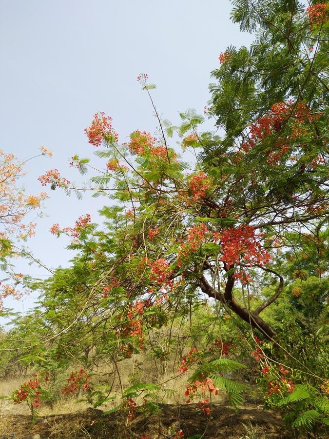 Árvore completamente de flores e das folhas vermelhas do verde fotografia de stock