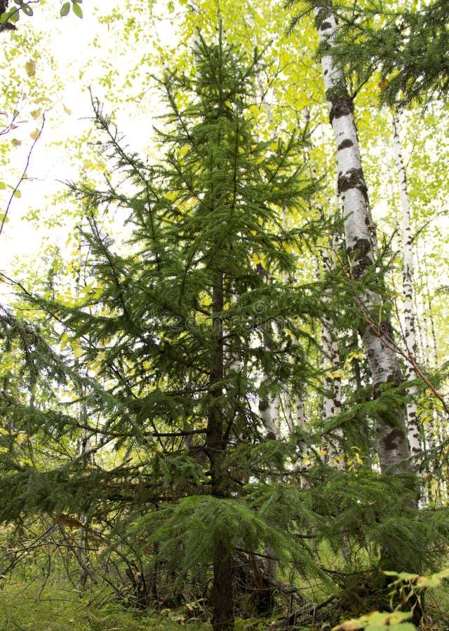 Árvore conífera Siberian do abeto vermelho fotos de stock