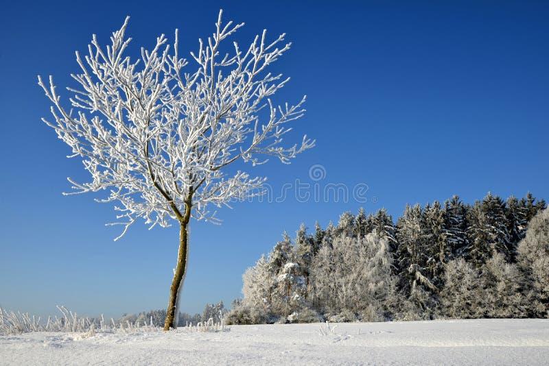 Árvore congelada no campo do inverno fotos de stock royalty free