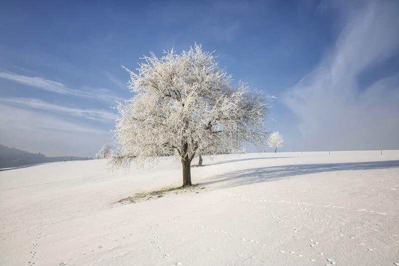 Árvore congelada no campo do inverno e no céu azul fotografia de stock