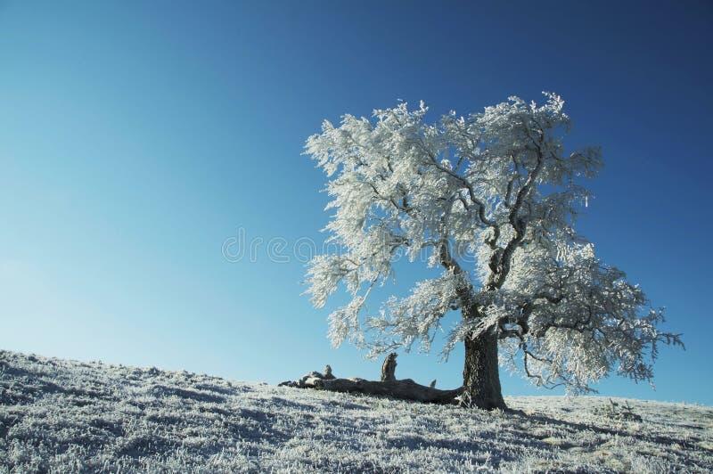 Árvore congelada sozinha fotos de stock royalty free