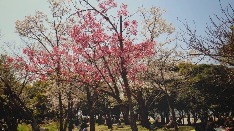 árvore cor-de-rosa bonita das flores foto de stock royalty free