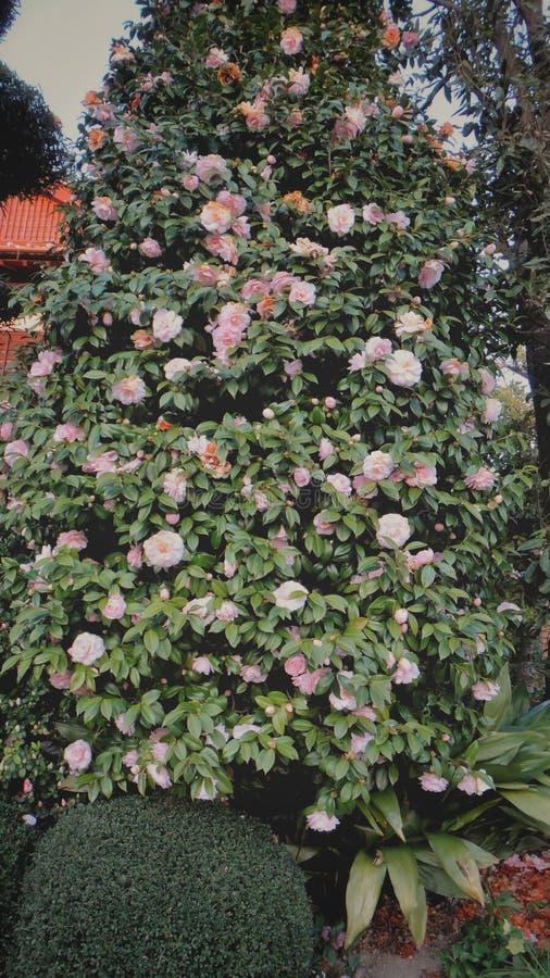 árvore cor-de-rosa bonita das flores fotografia de stock