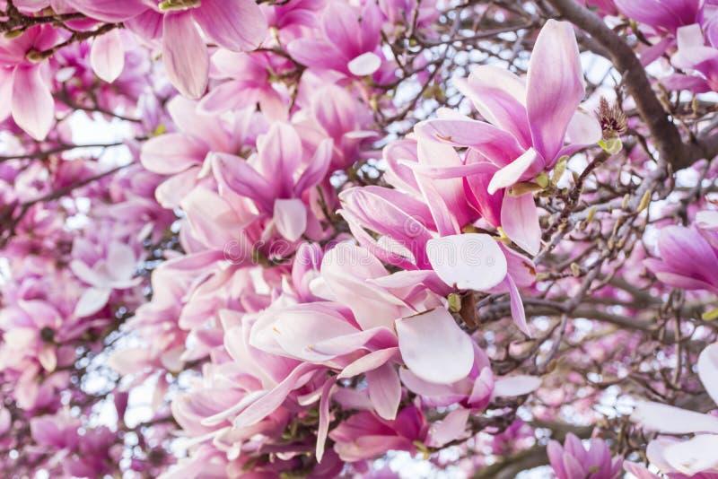 Árvore cor-de-rosa da magnólia imagens de stock royalty free