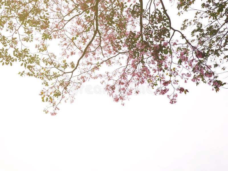 Árvore cor-de-rosa das flores de trombeta sobre o fundo branco fotografia de stock