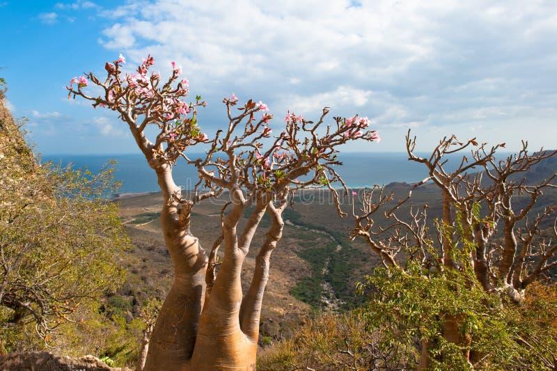 Árvore cor-de-rosa do deserto, console de Socotra, Yemen imagens de stock royalty free