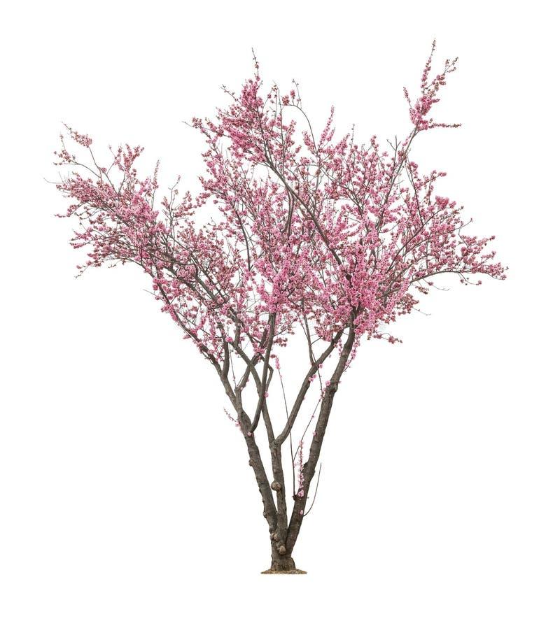 Árvore cor-de-rosa do sacura fotos de stock royalty free