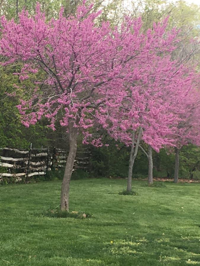 Árvore cor-de-rosa/roxa bonita foto de stock