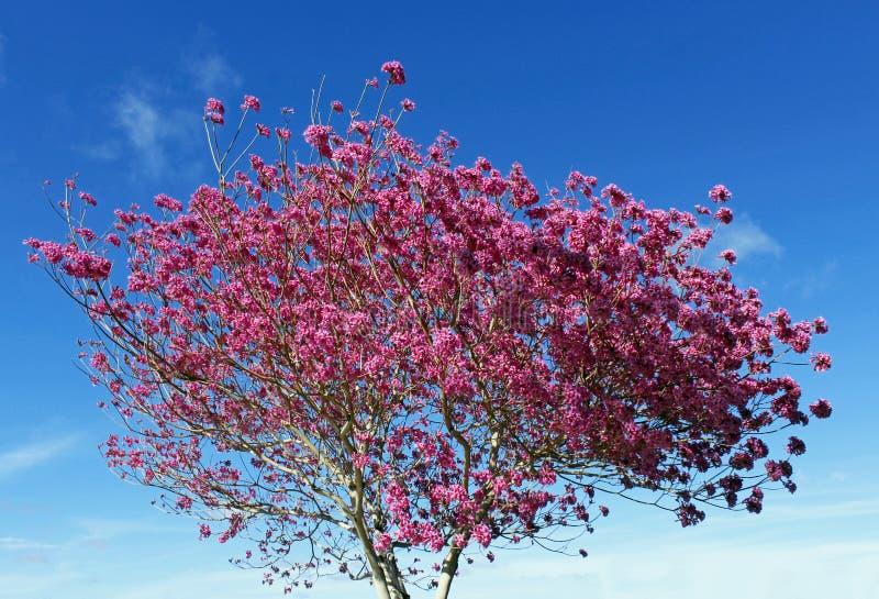 A árvore cor-de-rosa vistoso do tabebuia imagens de stock royalty free