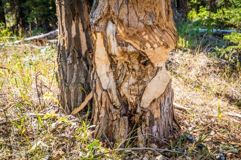 Árvore cortada por castores fotos de stock royalty free