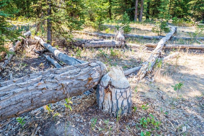 Árvore cortada por castores imagens de stock royalty free
