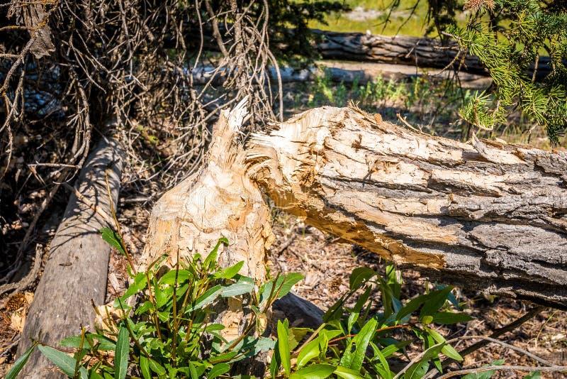 Árvore cortada por castores fotografia de stock royalty free