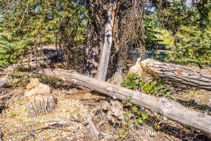 Árvore cortada por castores foto de stock