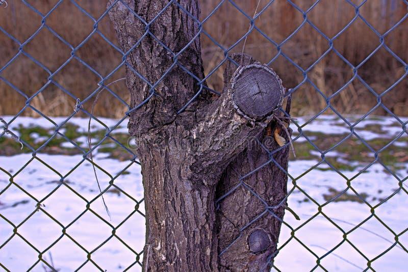 A árvore cresceu e em torno da cerca do elo de corrente fotografia de stock