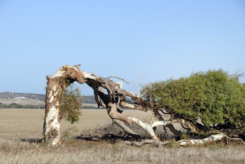 Árvore curvada no deserto imagens de stock royalty free