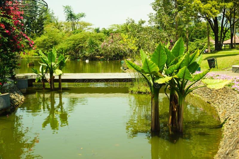 Árvore da água da banana na água com sombra e vertente e na ponte como o fundo - foto fotografia de stock