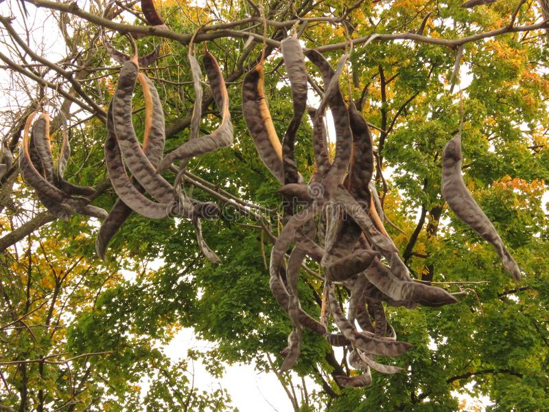 Árvore da acácia com folhas do amarelo e vagens da semente de Broun fotografia de stock