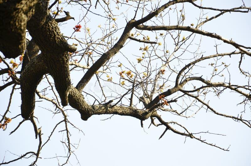 Árvore da agreira fotografia de stock royalty free