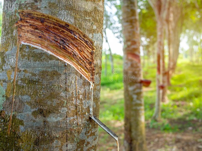 Árvore da borracha fotografia de stock