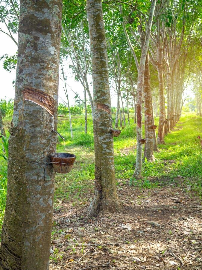 Árvore da borracha fotografia de stock royalty free