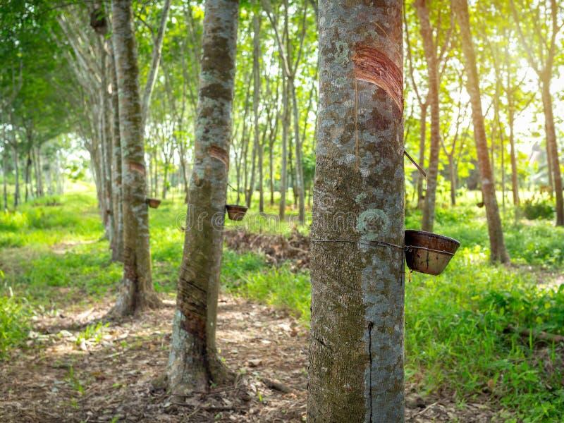 Árvore da borracha fotos de stock royalty free