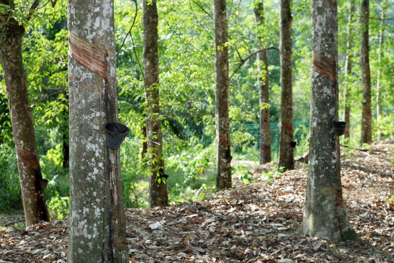 Árvore da borracha imagem de stock