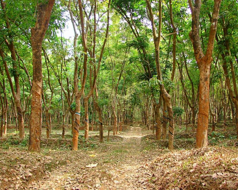 Árvore da borracha - hévea Brasiliensis - plantação em Kerala, Índia imagens de stock royalty free