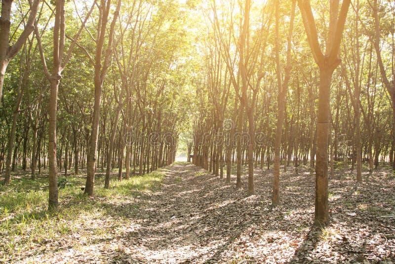 A árvore da borracha/plantação de borracha fotos de stock royalty free