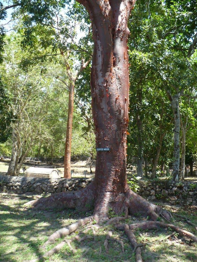 Árvore da borracha velha imagem de stock royalty free