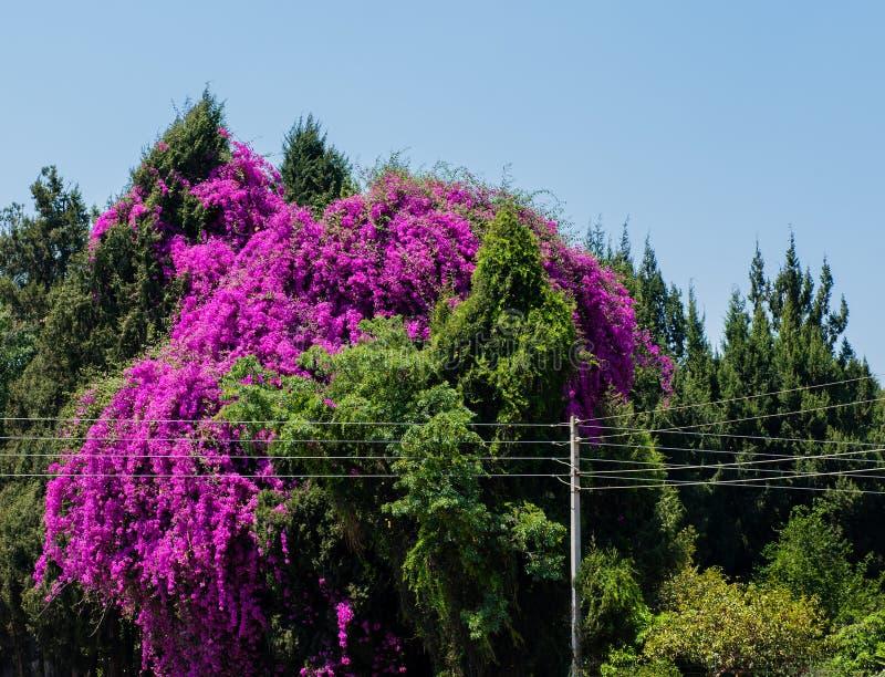 Árvore da buganvília em Harare - Zimbabwe, África do Sul fotografia de stock royalty free