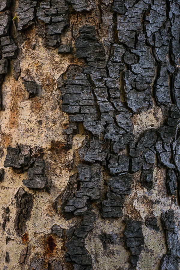 Árvore da cássia imagens de stock