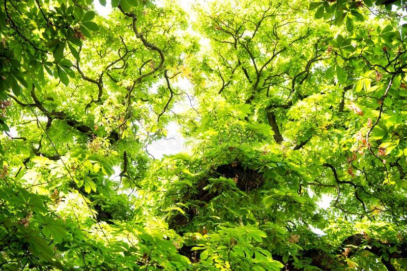 A árvore da castanha com verde sae em Praga, República Checa imagens de stock royalty free