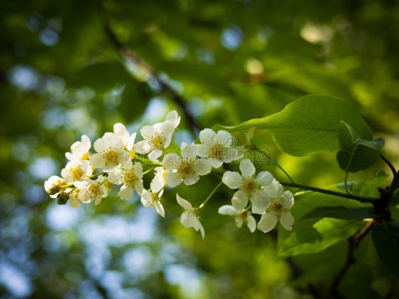 Árvore da cereja de pássaro do padus do Prunus, da agreira, a hagberry, ou do mayday fotografia de stock royalty free