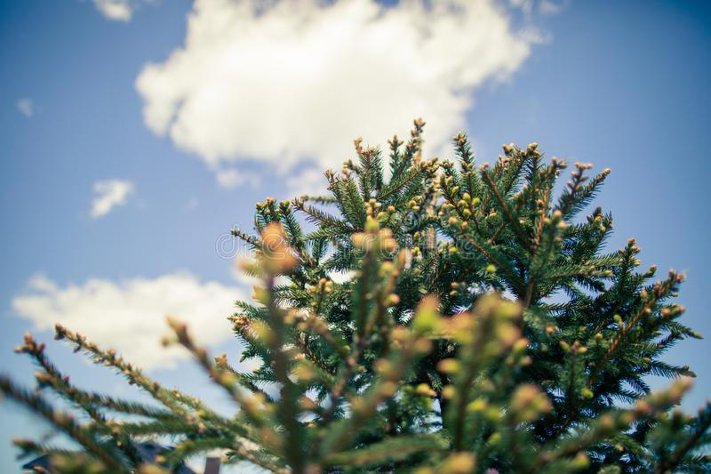 Árvore da árvore de Natal dos ramos no fundo do céu azul foto de stock