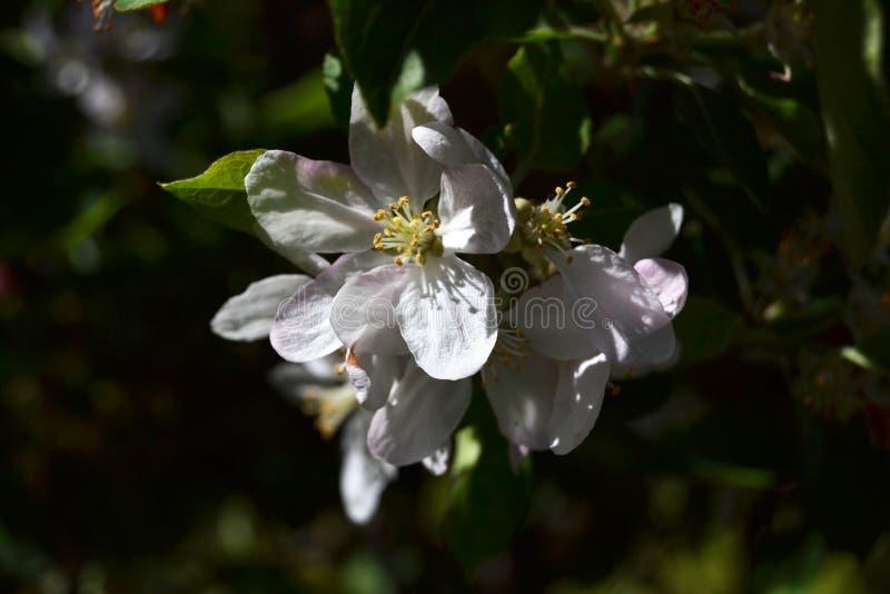 Árvore da flor de Apple na noite fotos de stock royalty free