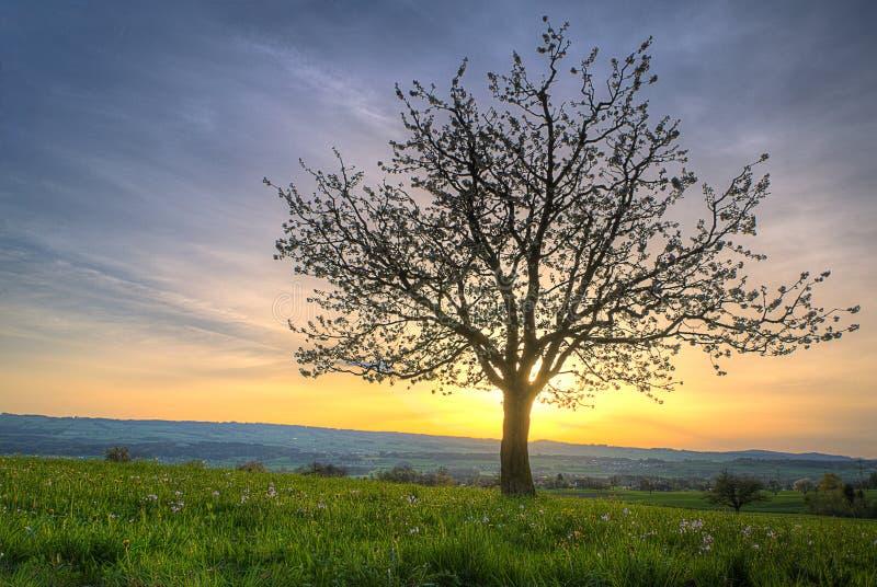 Árvore da flor de cereja no por do sol fotos de stock royalty free