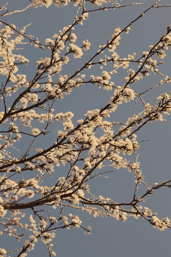 Árvore da flor de cerejeira da mola em um dia ensolarado com um filtro do sepia imagem de stock royalty free