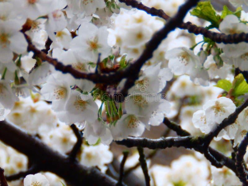 Árvore da flor de cerejeira das flores brancas imagem de stock