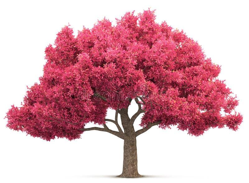Árvore da flor de cerejeira isolada ilustração stock
