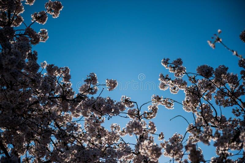 Árvore da flor de cerejeira de Sakura com opinião de céu azul de baixo de foto de stock