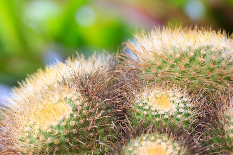 Árvore da flor do cacto imagem de stock
