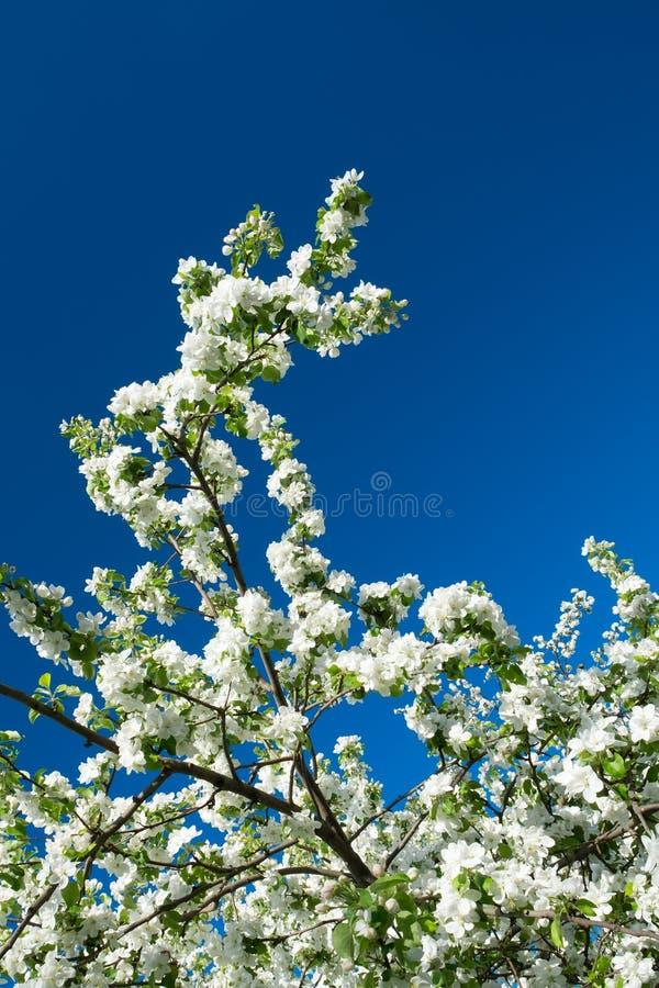 A árvore da flor sobre a mola da natureza floresce o céu azul imagens de stock