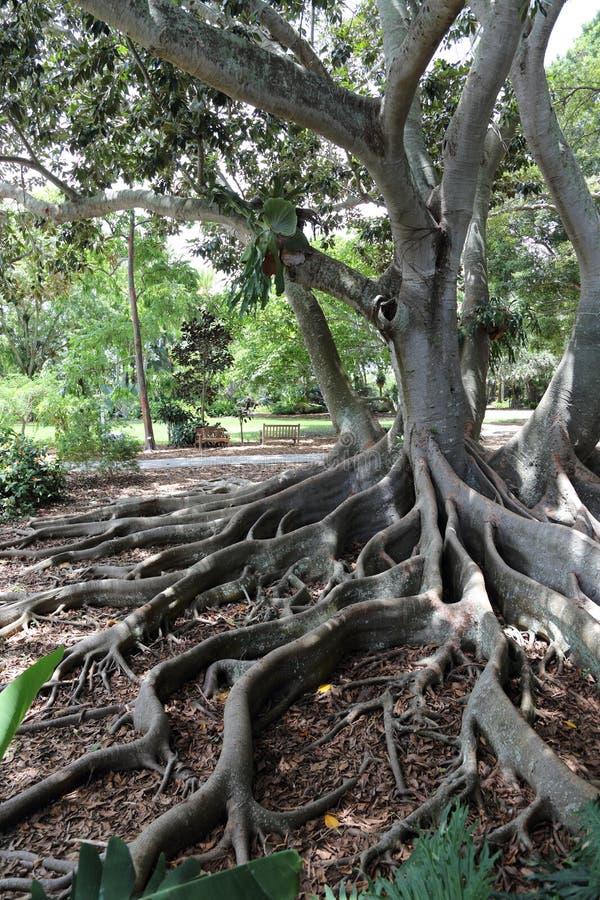 Árvore da floresta primária, Marie Selby Botanical Gardens, Sarasota, Florida fotografia de stock