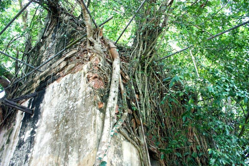 A árvore da igreja e de banyan de Wat Bangkung, Ampawa, Samutsongkram, Tailândia fotos de stock royalty free