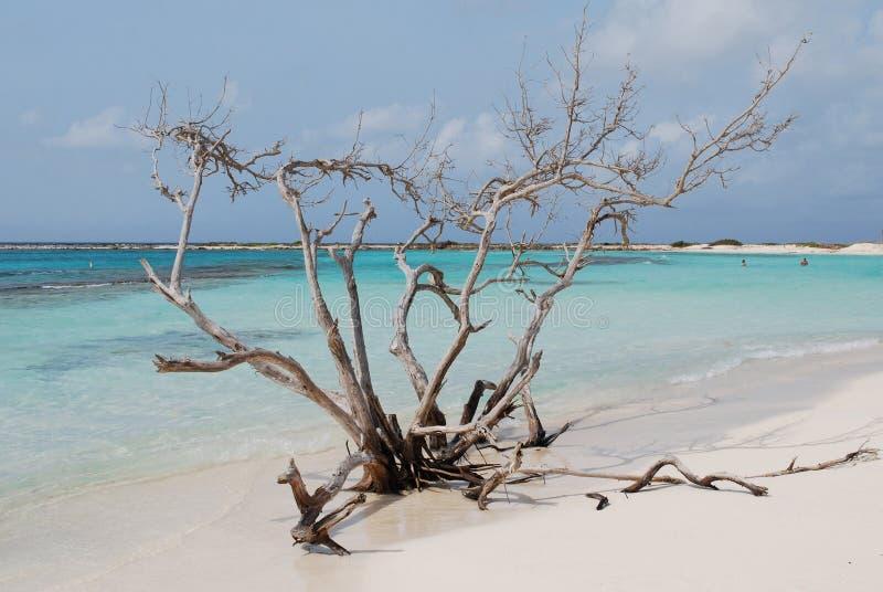 Árvore da madeira lançada à costa na praia do bebê em Aruba fotos de stock royalty free