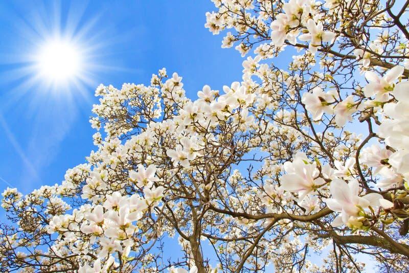 Árvore da magnólia em um dia ensolarado fotos de stock royalty free