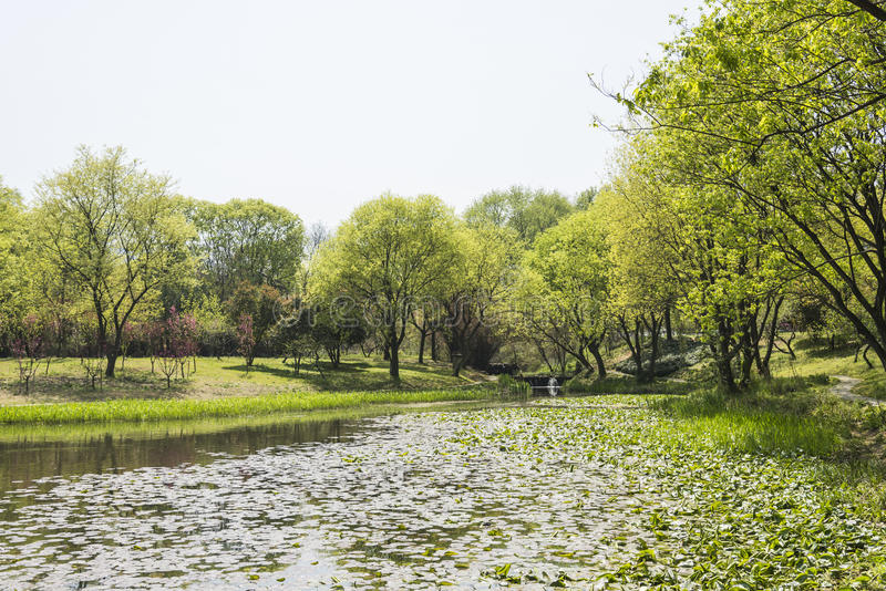 Árvore da margem e folha verdes de Lotus foto de stock royalty free