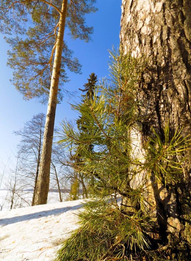 Árvore da mola fotografia de stock royalty free